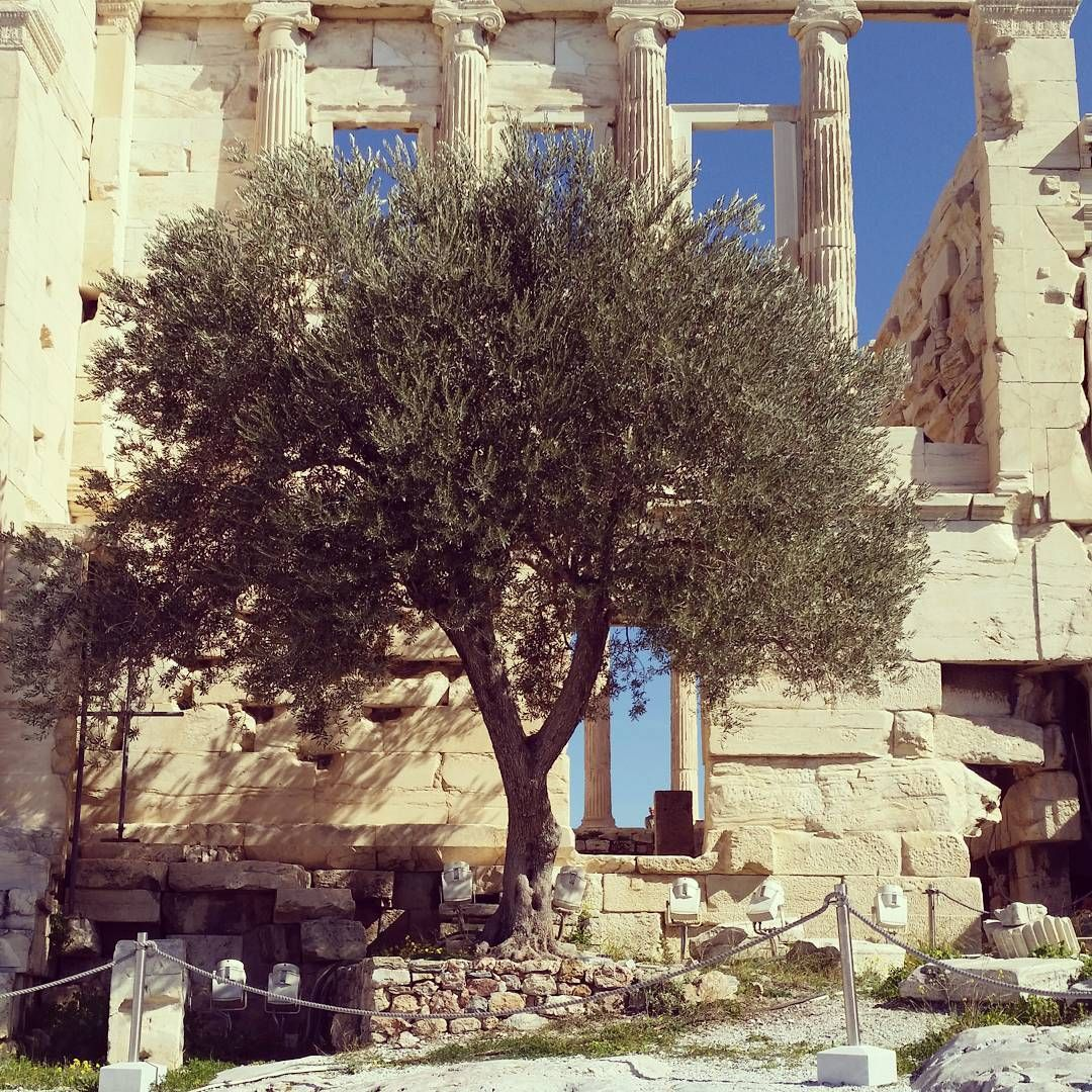 Atop the Acropolis of Athens stands an olive tree that is a symbol of hundreds of years of dedication and reverence.